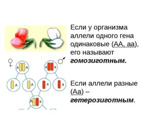 Если у организма аллели одного гена одинаковые (АА, аа), его называют гомозиг