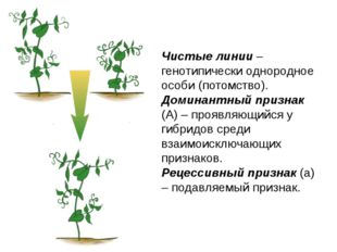 Чистые линии – генотипически однородное особи (потомство). Доминантный призна