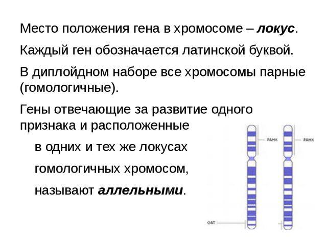 Место положения гена в хромосоме – локус. Каждый ген обозначается латинской б...