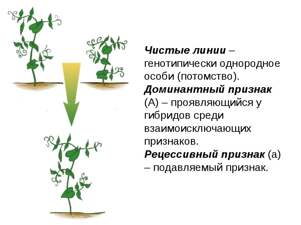Чистые линии – генотипически однородное особи (потомство). Доминантный призна...