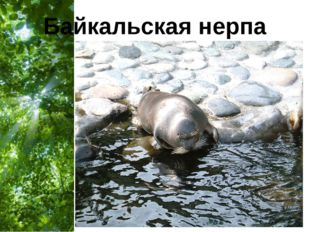 Байкальская нерпа Free Powerpoint Templates Page *
