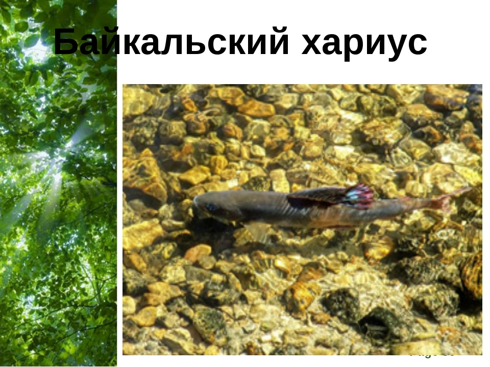 Байкальский хариус Free Powerpoint Templates Page *