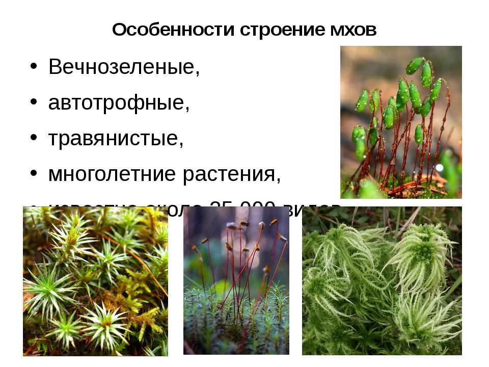 Особенности строение мхов Вечнозеленые, автотрофные, травянистые, многолетние...