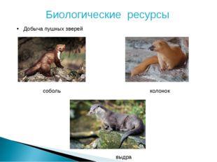 Биологические ресурсы Добыча пушных зверей соболь колонок выдра