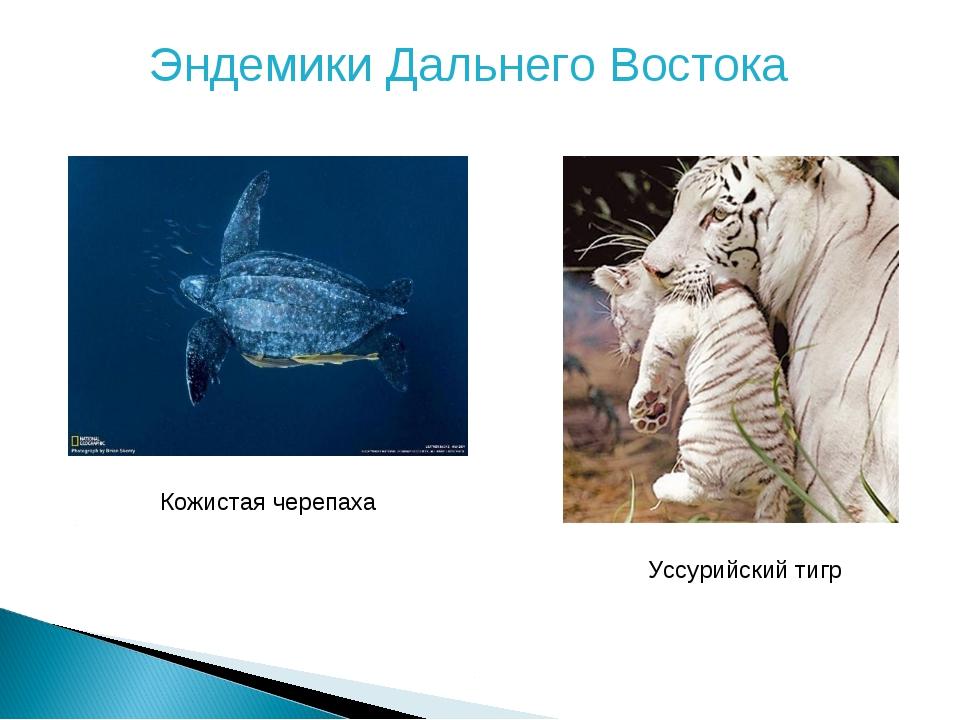 Эндемики Дальнего Востока Кожистая черепаха Уссурийский тигр