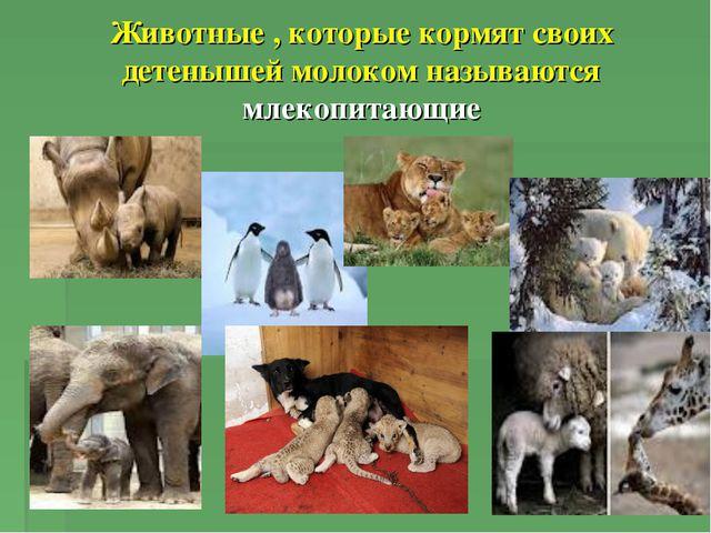 Животные , которые кормят своих детенышей молоком называются млекопитающие