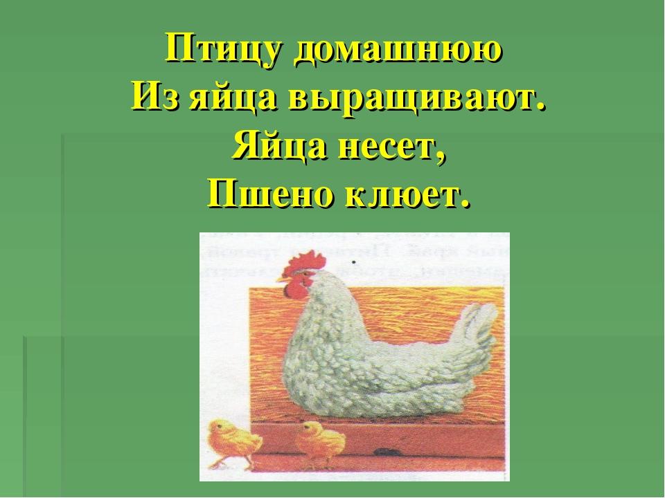 Птицу домашнюю Из яйца выращивают. Яйца несет, Пшено клюет.