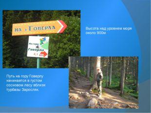 Путь на гору Говерлу начинается в густом сосновом лесу вблизи турбазы Заросля