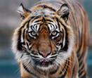 C:\Documents and Settings\User\Рабочий стол\картинки\балтийский тигр.jpeg