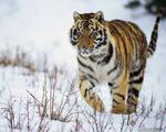C:\Documents and Settings\User\Рабочий стол\картинки\амурский тигр.jpeg
