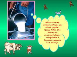 Много молока можно надоить от одной коровы. Целое ведро. Все молоко на молочн