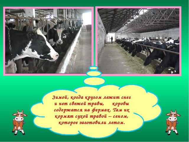 Зимой, когда кругом лежит снег и нет свежей травы, коровы содержатся на ферма...