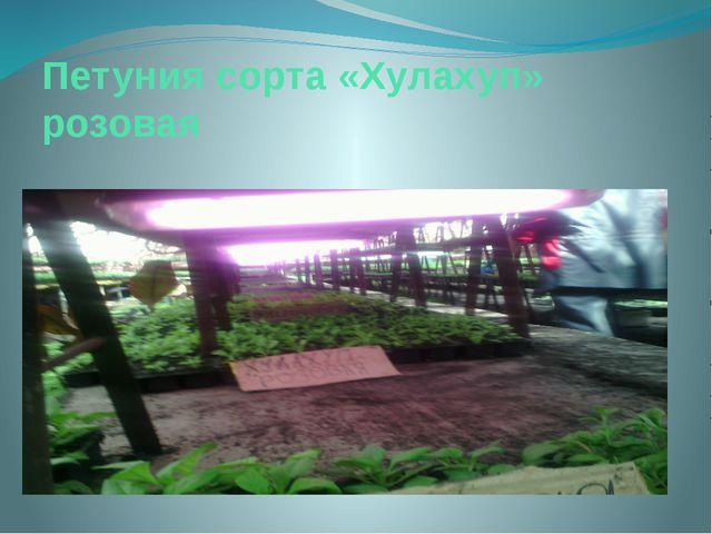 Петуния сорта «Хулахуп» розовая