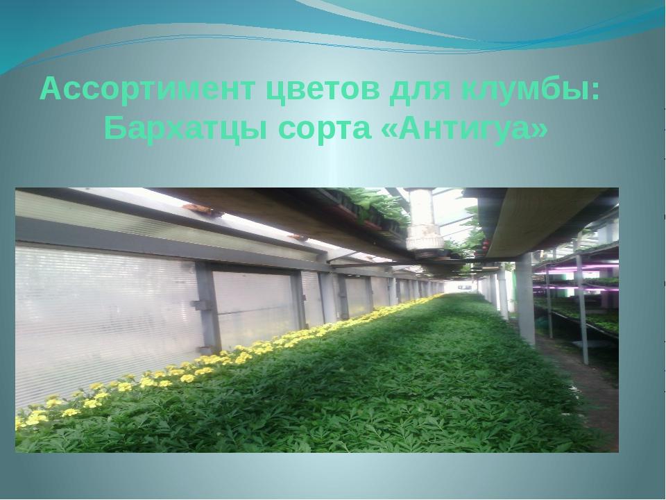 Ассортимент цветов для клумбы: Бархатцы сорта «Антигуа»