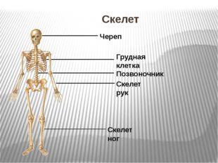 Скелет Череп Грудная клетка Позвоночник Скелет рук Скелет ног