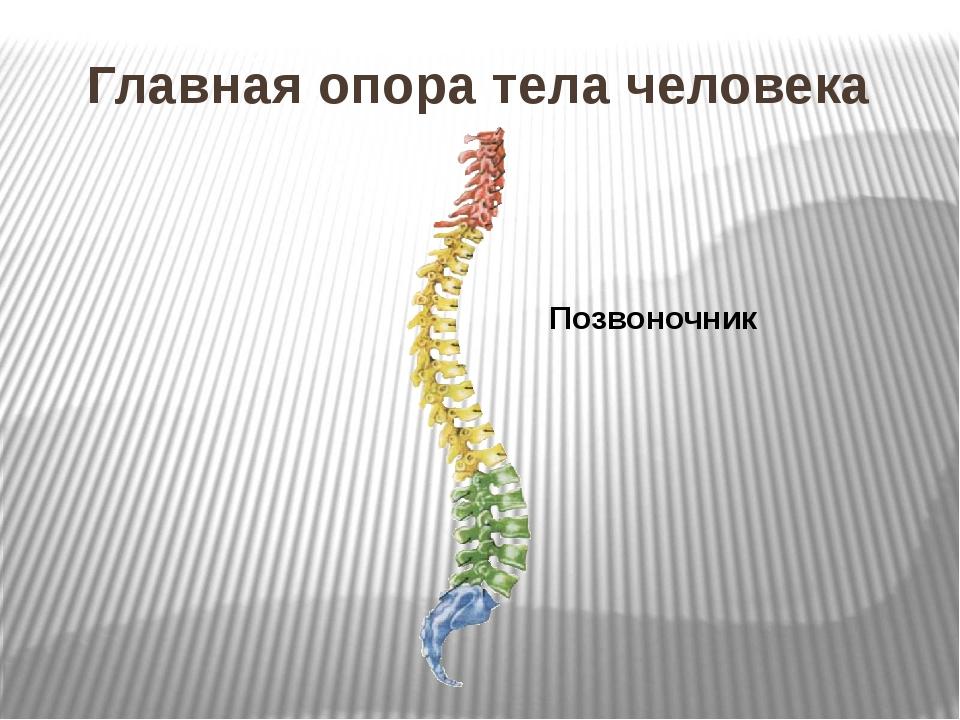 Главная опора тела человека Позвоночник