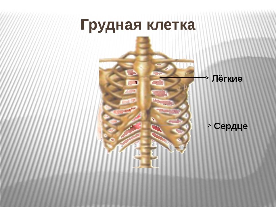 Грудная клетка Лёгкие Сердце