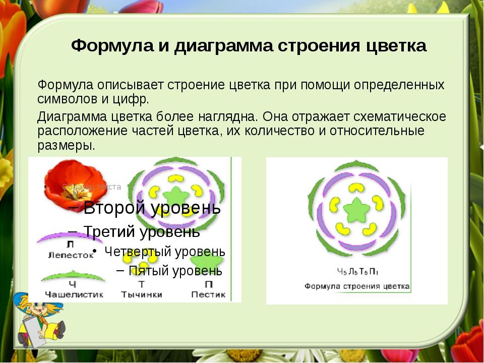 Формула и диаграмма строения цветка Формула описывает строение цветка при пом...