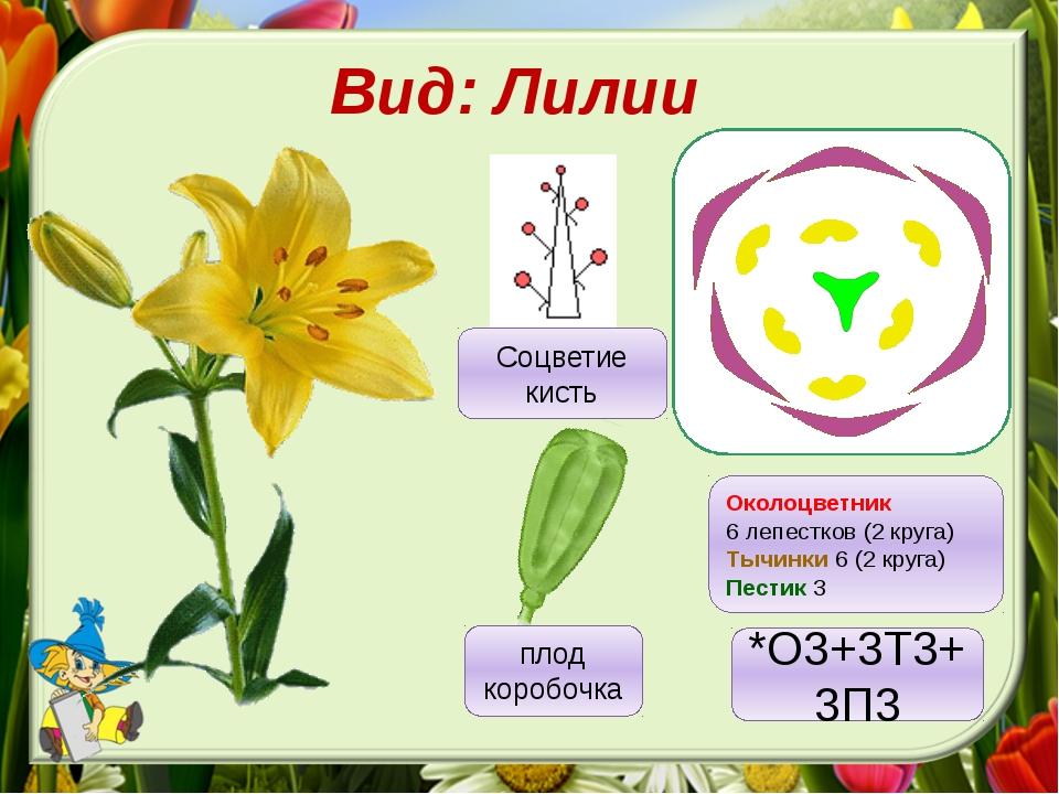 Вид: Лилии Околоцветник 6 лепестков (2 круга) Тычинки 6 (2 круга) Пестик 3 пл...