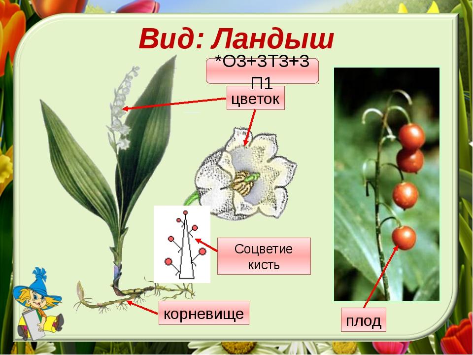 Вид: Ландыш *О3+3Т3+3П1 Соцветие кисть корневище цветок плод Давай внимательн...
