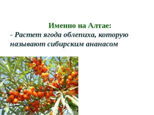 Именно на Алтае: - Растет ягода облепиха, которую называют сибирским ананасом