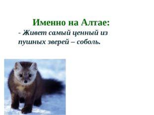 Именно на Алтае: - Живет самый ценный из пушных зверей – соболь.