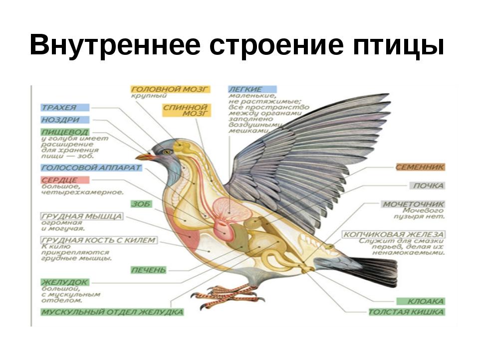 должны анатомия птиц картинки выложенное вдоль стены