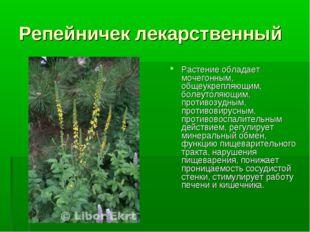 Репейничек лекарственный Растение обладает мочегонным, общеукрепляющим, болеу