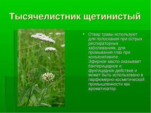 Тысячелистник щетинистый Отвар травы используют для полоскания при острых рес