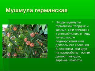 Мушмула германская Плоды мушмулы германской твёрдые и кислые. Они пригодны к