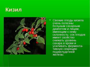 Кизил Свежие плоды кизила очень полезны больным сахарным диабетом и лицам, им