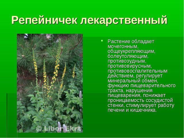 Репейничек лекарственный Растение обладает мочегонным, общеукрепляющим, болеу...