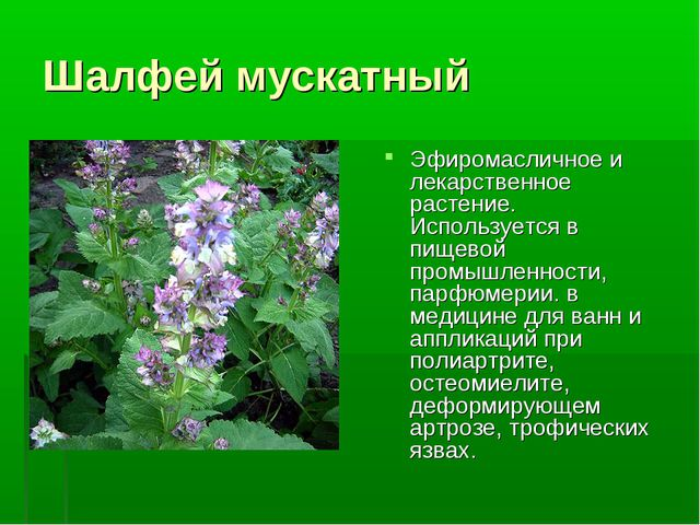 Шалфей мускатный Эфиромасличное и лекарственное растение. Используется в пище...