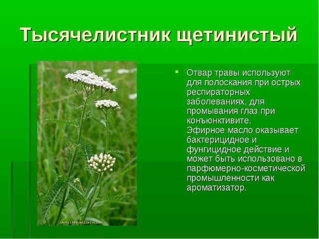 Тысячелистник щетинистый Отвар травы используют для полоскания при острых рес...
