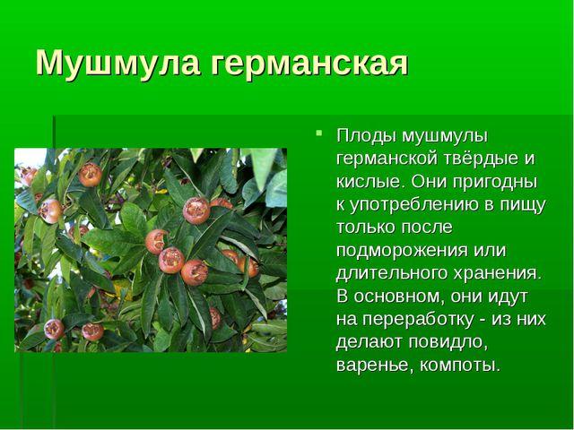Мушмула германская Плоды мушмулы германской твёрдые и кислые. Они пригодны к...
