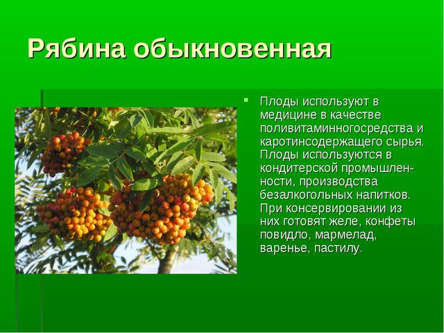 Рябина обыкновенная Плоды используют в медицине в качестве поливитаминногосре...