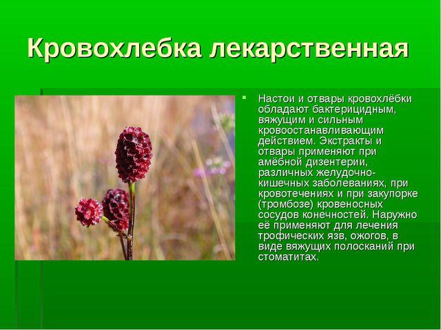 Кровохлебка лекарственная Настои и отвары кровохлёбки обладают бактерицидным,...