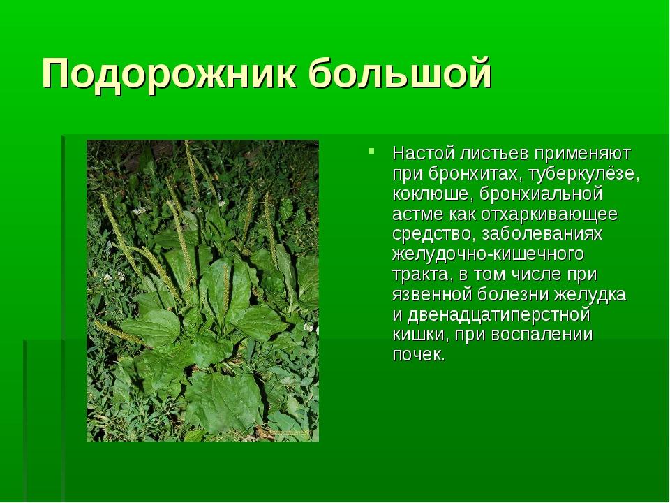 Подорожник большой Настой листьев применяют при бронхитах, туберкулёзе, коклю...