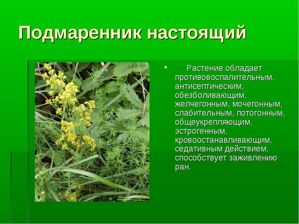Подмаренник настоящий  Растение обладает противовоспалительным, антисепти...