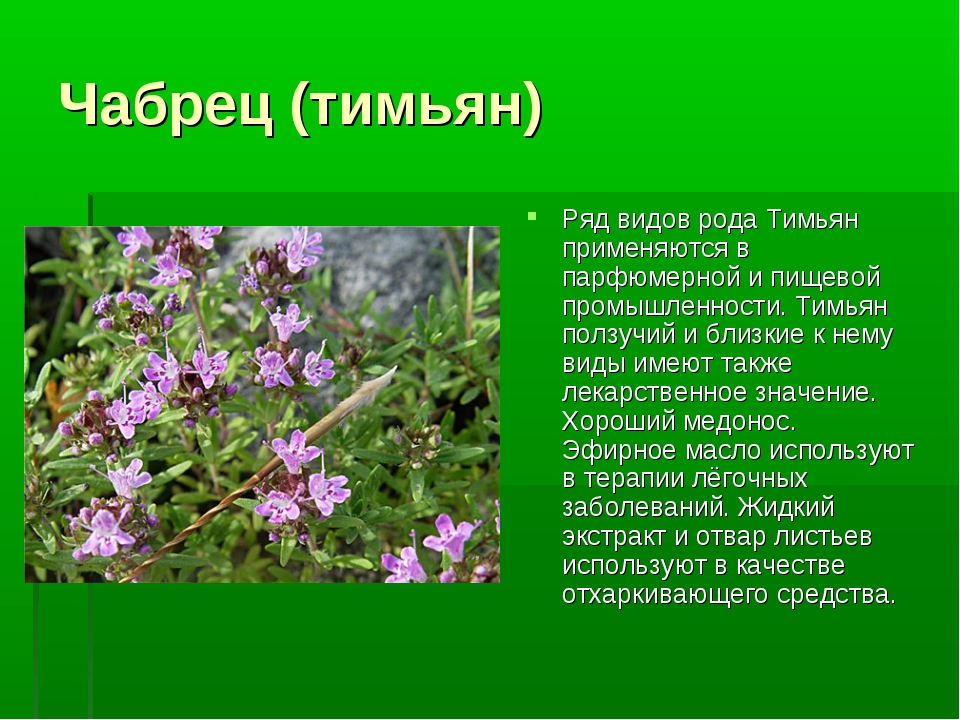 Чабрец (тимьян) Ряд видов рода Тимьян применяются в парфюмерной и пищевой про...
