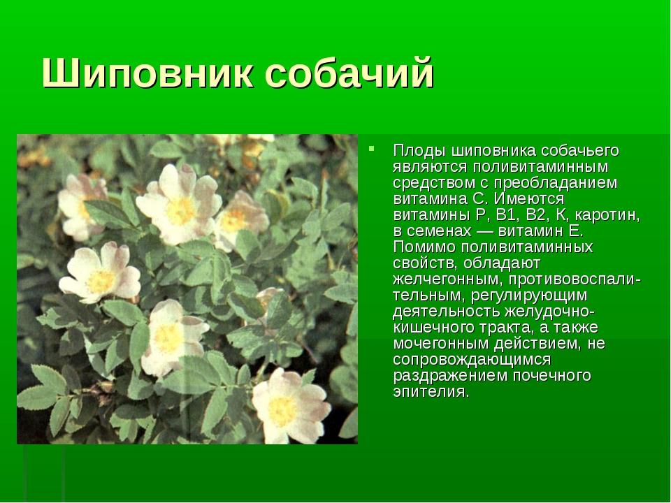 Шиповник собачий Плоды шиповника собачьего являются поливитаминным средством...