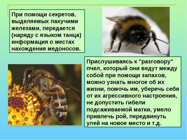 """Прислушиваясь к """"разговору"""" пчел, который они ведут между собой при помощи за..."""