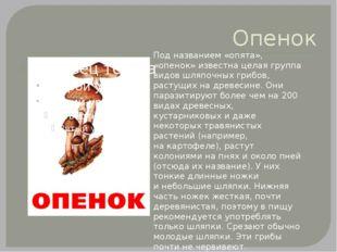 Опенок Под названием «опята», «опенок» известна целая группа видов шляпочных