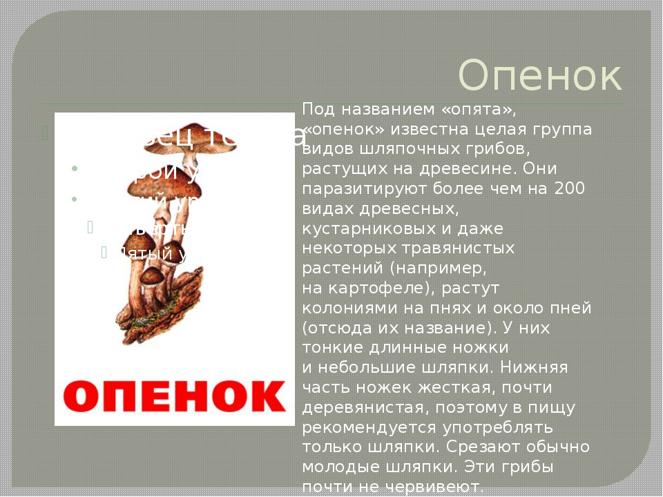 Опенок Под названием «опята», «опенок» известна целая группа видов шляпочных...
