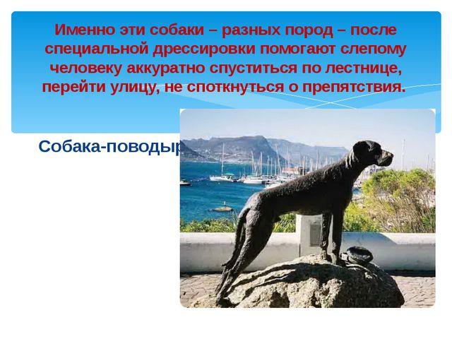Собака-поводырь Именно эти собаки – разных пород – после специальной дрессиро...