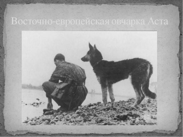 Восточно-европейская овчарка Аста
