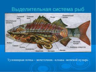 Выделительная система рыб Туловищная почка – мочеточник –клоака -мочевой пузырь