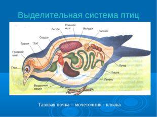 Выделительная система птиц Тазовая почка – мочеточник - клоака