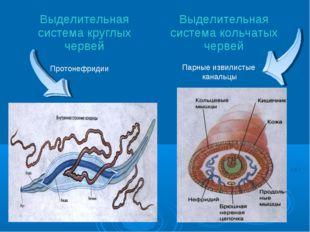 Парные извилистые канальцы Протонефридии Выделительная система круглых червей