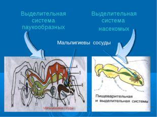 Мальпигиевы сосуды Выделительная система паукообразныхВыделительная система